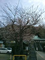 2014.3.29 神社の桜