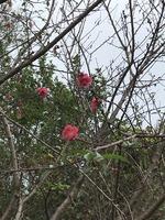 寒緋桜?桃?