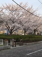 大津公園の桜