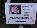 ニチニチ草の様なバラ