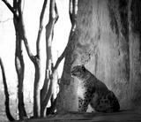 snow-leopard-173126__340