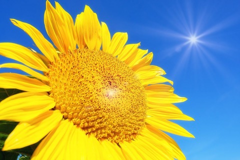 sunflower-4298940_1920