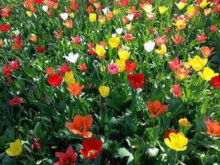 tulips-739466__340