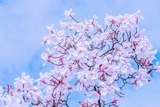 tulip-magnolia-4052780__340
