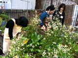 屋上の畑でなにわ野菜収穫。