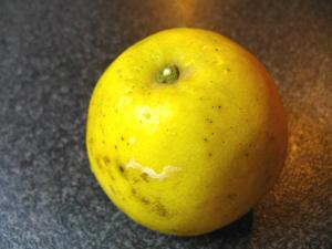 愛媛のグレープフルーツ