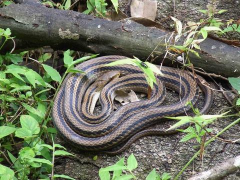 普通のシマヘビ