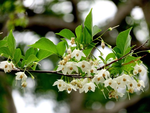 聖天エゴノキの花