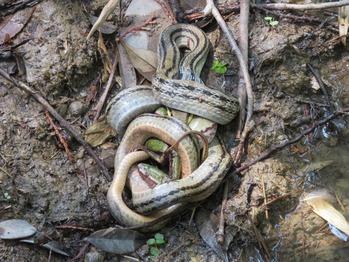シマヘビの捕食1
