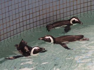 ペンギン一家
