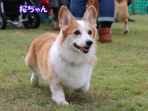 13桜01