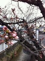 2013年3月21日の玉串川桜