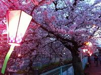 雪洞に灯がともされた桜並木