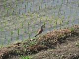 ケリの親鳥1