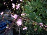 咲き出した桃の花