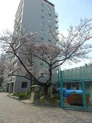 20160327大阪砲兵工廠跡の桜の木