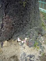 機の根元付近から直接咲いた桜の花