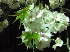 夜桜2013-5