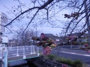 咲き始めた玉串川沿いのソメイヨシノ2019年3/25