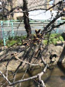 まだ茶色いままのソメイヨシノ桜の花芽