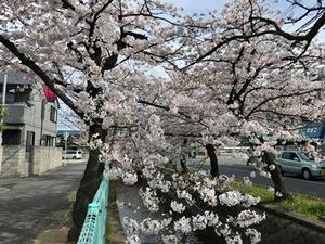 玉串川のソメイヨシノ桜0406-2