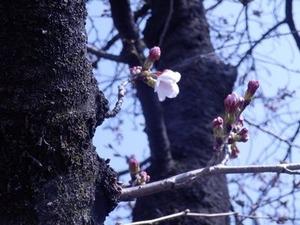 咲き始めた玉串川沿いのソメイヨシノ2019年--1