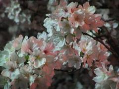 夜桜2013-4