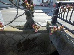 福万寺口停留所横のソメイヨシノ2