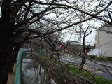 玉串川と桜並木