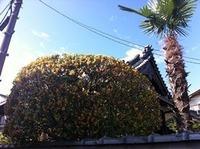 福万寺町のお寺の金木犀