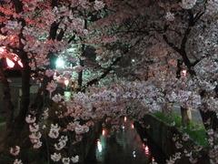 夜桜2013-3