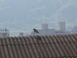 ケリの親鳥、屋根で身づくろい