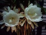 月下美人の花UP3