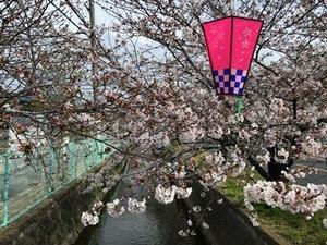 玉串川のソメイヨシノ桜0406-1