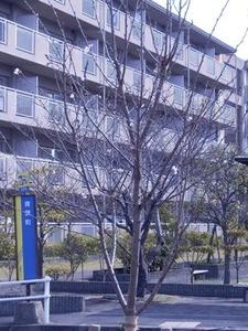若い桜の木に開花2019年3月25日朝