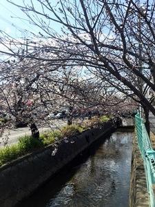 2分から3分咲きになってきた福万寺町近くの桜並木2019年