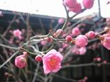 工場にある植木鉢の梅の花