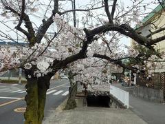 20160401JA付近の桜