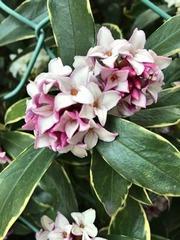 沈丁花の花2017