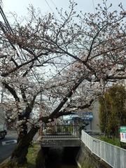 20160331福万寺JAから南側の桜