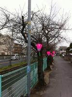 2013年3月18日の玉串川の桜