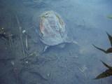 水の中でやっと前足と首を出し始めたクサガメ