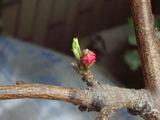 まだつぼみの桃の花