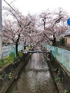 玉串川の桜0407