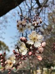 大阪城公園JR森ノ宮駅近くの桜の花2017
