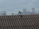 屋根の上にいるケリの親鳥