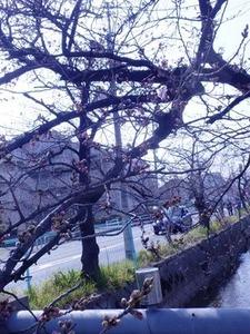 咲き始めた玉串川沿いのソメイヨシノ2019年-3