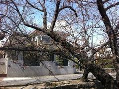 20160326高安駅南側の桜