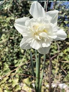 咲き出した白い花
