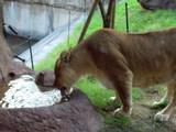 水を飲む天王寺動物園の雌ライオン